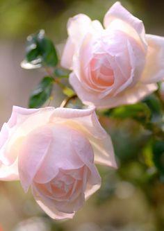 'Royal Highness' | Hybrid Tea Rose.  Swim & Weeks, 1962 |  Flickr - © snowshoe hare*