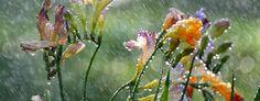 The beauty of nature Garden Nook, Standing In The Rain, Rain Photo, Flower Shower, Walking In The Rain, Summer Rain, Exotic Plants, Rain Drops, Dew Drops
