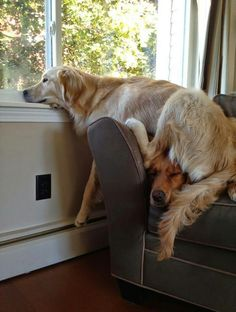Life with Dogs Golden Retrievers