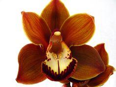 Bronze orchid Orchid Plants, Orchids, Orchid Supplies, Autumn, Fall, Bronze, Weddings, Garden, Gardening