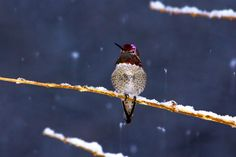 Hummingbirds survive in snow and freezing temps. I have seen many posts in which folks have said they wished their hummingbirds would…