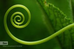 New beginning.. - Pinned by Mak Khalaf Fine Art artbeautifulcreeperfinegolden ratiogreengreeneryleafnaturalnaturenew beginingnikonspiral by sharathyelathur