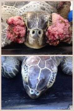 Before and after shots of an endangered green sea turtle which underwent surgery in March to have tumors removed from its eyes after being rescued by the Turtle Hospital in Marathon.