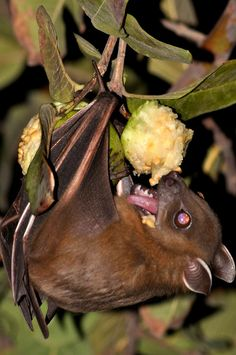 The Fulvous Fruit Bat (Rousettus leschenaulti eating Guava Nature Animals, Animals And Pets, Baby Animals, Creatures Of The Night, Cute Creatures, All About Bats, Bat Photos, Bat Species, Baby Bats