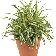 Clorofito. Chlorophytum comosum. Natural da África.
