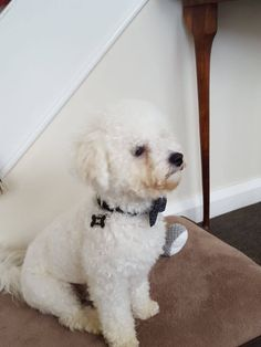 Bichon FriseDo you love dogs? Here are 50 adorable Bichon Frise Dogs to make your heart melt. They are cheeky, cute and full of mischief... come take a look...