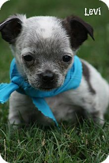 Brattleboro, VT - Chihuahua/Boston Terrier Mix. Meet Levi a Puppy for Adoption.
