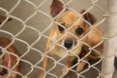 URGENT!!* In Kill-  shelther since 8/14  Available for adoption! Young Chihuahua mix female 1-2 years old  Kennel A23  Available NOW**** $51 to adopt   Located at Odessa, Texas Animal Control. Must have a valid Drivers LicensWE ARE NOT the pound. We are volunteers who network these animals to try and find them homes....