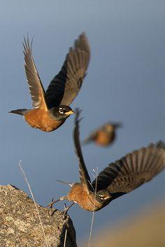 Trish Carney - American Robins | Flickr - Photo Sharing!