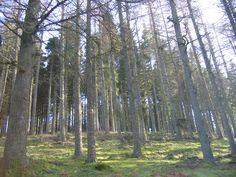 Ancient Woodland at Kielder - its not all pine!