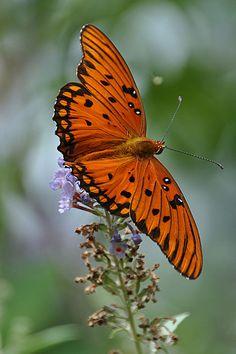 Gulf Fritillary butterfly ~ by Cynthia Phillips**