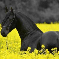 Love black horses