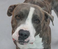 *MAXIMUS-ID#A763951  Shelter staff named me MAXIMUS.  I am a male, brown brindle and white Pit Bull Terrier.  The shelter staff think I am...
