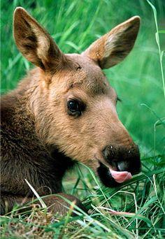 Moose calf lying in grass, Kenai peninsula, Alaska (© Steve Kazlowski/DanitaDelimont.com)