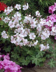 Peittokurjenpolvi - Geranium × cantabrigiense Biokovo