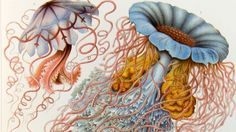 Biologist Ernst Haeckel's images shown at The Deep - BBC News