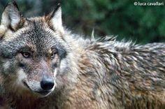 Lupo Parco Nazionale d'Abruzzo Lazio e Molise   Foto di Luca Cavallari  Wolf
