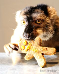 Our lemurs enjoy Christmas Cookie enrichment - primate chow cookies frosted with pumpkin and raisins! Learn more about lemurs on our website www.lemurreserve.org