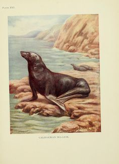 Sea-lion. The book of the animal kingdom. Mammals  London,J. M. Dent & sons, ltd.;1910.  Biodiversitylibrary. Biodivlibrary. BHL. Biodiversity Heritage Library