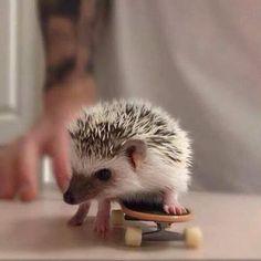Baby hedgehog on skateboard #cute