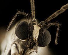 phantom crane fly_2015-04-19-16.23.54 ZS PMax | by Sam Droege