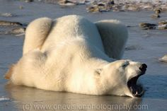 """From Timm Chapman  """"Nap Time"""" See more images of The Lords of the Arctic"""" at my website: http://www.onevisionphoto.com/polarbears/polarbeargallery.htm"""