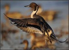ducks flying - Google Search