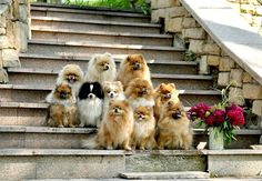 Pomeranians...family photo <3