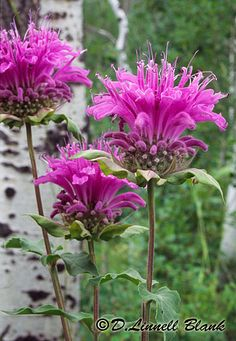 "BEE BALM, Horsemint or Wild Bergamot,Monarda Fistulosa,Mint Family.Bright pink.12-24"".Blooms July – August.Native habitat: Montana grasslands,meadows,woods,slopes & open forests. Has a history as a medicinal plant;was used by many Native Americans.A tea brewed from the leaves & stems is said to treat a cough,sooth stomach aches,eases symptoms of colds,flu,pneumonia, sore eyes,indigestion,kidney & respiratory problems.It makes a nice-smelling hair rinse;leaf chewed, put on gums aids…"