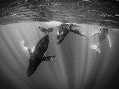 Humpback Whales diving in Tahiti - photo : National Geographic