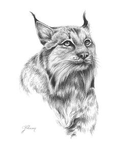 Charcoal Bobcat Drawing - Giclee Art Print - 8x10 - Lindsay Johnson - The Quiet Return