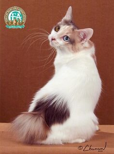 The essential Japanese Bobtail is an active cat, medium to small in size pounds), with a characteristic short pom-pom tail, who combines the reflexes and intelligence of a breed which has… Japanese Bobtail, Japanese Cat, Warrior Cats, Manx Kittens, Cats And Kittens, Manx Cat, Pretty Cats, Beautiful Cats, Gato Bobtail