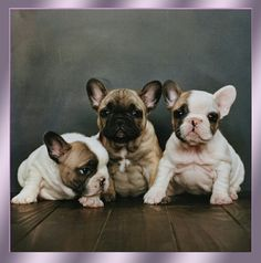 Fawn and pied fawn frenchies