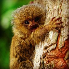 the German name means 'jumping monkey'. live in dense forests near water in Brazil, South America.range from inches (avg. 13 in) with a tail of inches.average weight is species are critically endangered Tiny Monkey, Cute Monkey, Beautiful Creatures, Animals Beautiful, Pygmy Marmoset, Baby Animals, Cute Animals, New World Monkey, Monkey Business