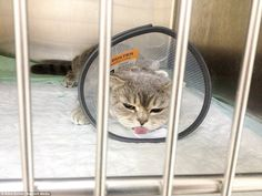 Melissa lies in a cage with a medical shield after she was diagnosed with the bone condition, called Osteochondrodysplasia