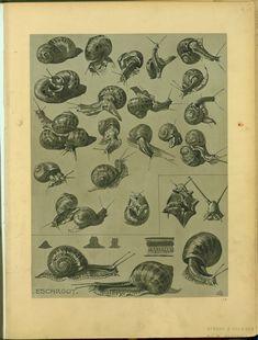 Escargot - ID: 102288 - NYPL Digital Gallery