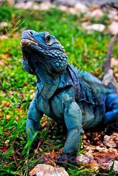 The blue iguana, also known as the Grand Cayman iguana, Grand Cayman blue iguana or Cayman Island blue iguana, is an endangered species of lizard endemic to the island of Grand Cayman. Reptiles Et Amphibiens, Mammals, Beautiful Creatures, Animals Beautiful, Beautiful Beach, Regard Animal, Animals And Pets, Cute Animals, Crocodiles