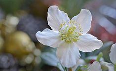 Die Christrose(Helleborus niger) begeistert mit ihren eleganten Blüten