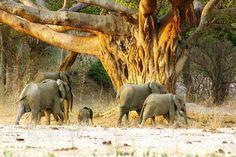 Giants at Mana Pools, Zimbabwe