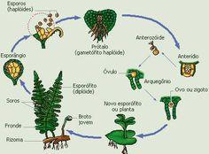 Criptógamas ( Briófitas e Pteridófitas) | Pesquisas de Química