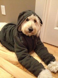 Jack the Goldendoodle is fashionable. theinspireddogblog.com #goldendoodle #pets #funny