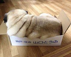 Pug rolls to go...