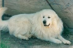 GREAT PRYNESS DOG PHOTO   great pyrenees dog gate great pyrenees # gpdg $ 75 for guardian dogs ...