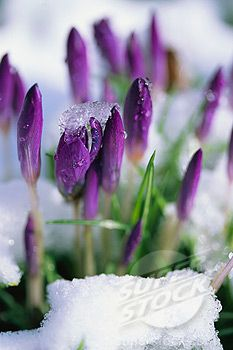 pics of plants in snow | Crocus Plants Emerging from Snow | Stock Photo #1829-16744