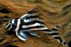 """Zebra pleco 3.1"""" so great for smaller 20 gallon tanks, hard to find and very expensive"""