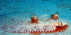 Photo of the flounder at the Similan islands