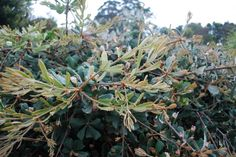 Banksia Roller Coaster --- For more Australian native plants visit austraflora.com