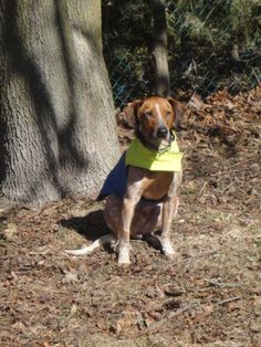 Rusty is an adoptable english coonhound searching for a forever family near Cobourg, ON. Use Petfinder to find adoptable pets in your area.