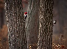 Pair of Red-headed Woodpeckers - TroyMarcyPhotography.com