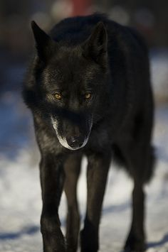 A black beauty of a wolf